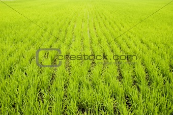 green paddy fields