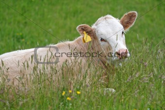 Calf in the meadow