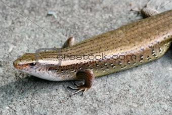 Skinks Lizard