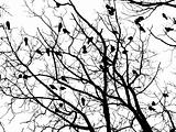 Crows (4)