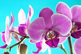 Orchid Series