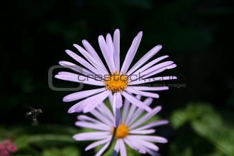 The camomile with flying insect