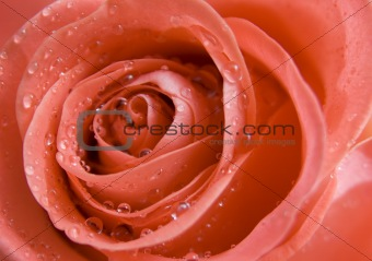 Closed-up rose