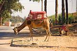 City camel
