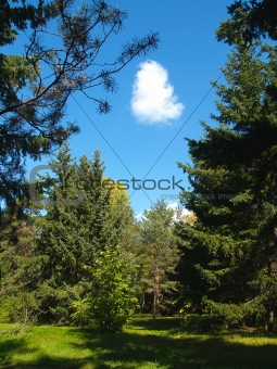 autumn park with firs and white cloud