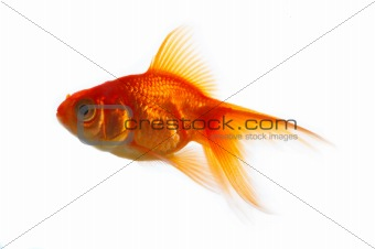 Isolated Goldfish