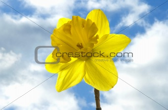 daffodil in the sky