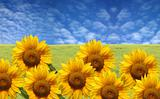 beautiful sunflowers with green grass and blue sky