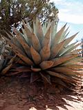 Single Agave Plant
