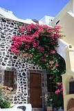 Bougainvillea growing