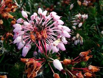 Thyme Flower 2