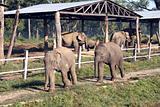 Baby Elephants - Nepal