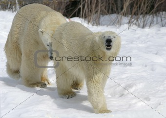mating polar bears