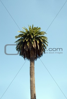 Tropical Palm tree