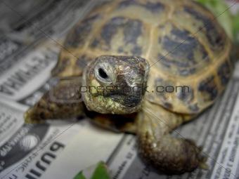 Face Shot (turtle)