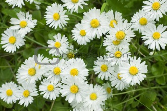 Camomile flowers over green grass