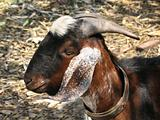 Closeup of a Goat