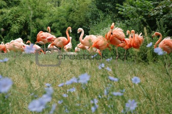 Flock of Pink Flamingo
