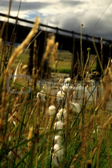 Grasses blowing in the breeze