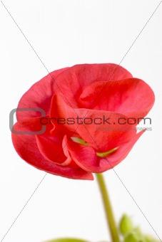 A Flowering Begonia