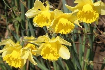 Multiple yellow Daffodil's