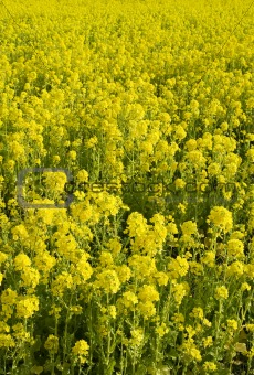 An endless field of yellow flowers