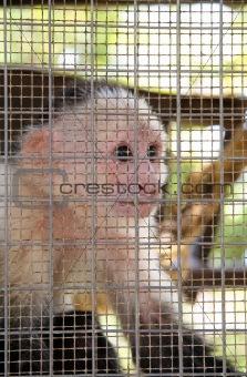 Captive Monkey