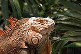 Profile of an Iguana
