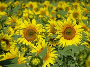 Bright Sunflowers