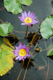Purple Water Lily Lotus