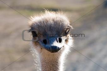Close up of an Ostrich