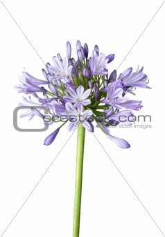 Agapanthus blue on white background