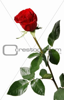 blossoming of a rose with leaf