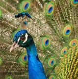 glance peacock