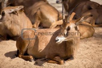 Antelopes