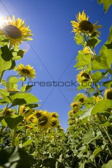 growing sunflowers in field