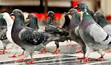March of the pigeons