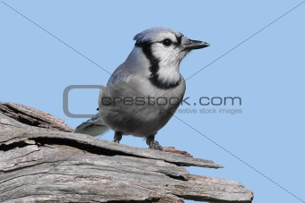Blue Jay On A Stump