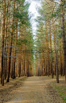 footpath in pine forest