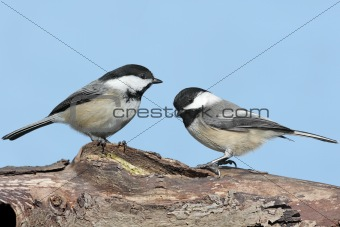 Pair of Birds on a Log