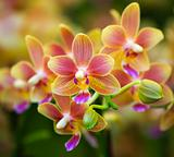 Pink Yellow Spotted Orchids Hong Kong Flower Market