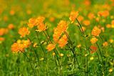 globe-flowers field