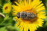 gadfly on dandelion