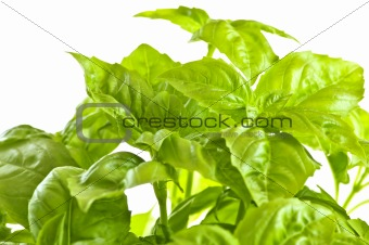 Green basil close up
