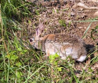 camo rabbit