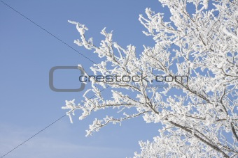 Branch of the snowy tree