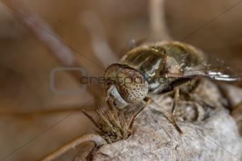 Horsefly ( haematopota pluvialis ) - dipteron