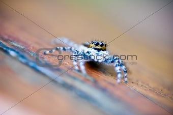 little flying spider