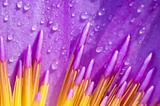 Close up of purple water lily