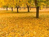 Autumn Leaves at Okanagan Lake Park